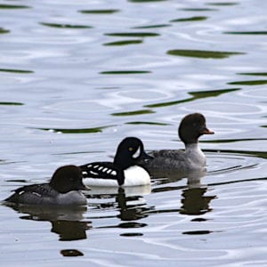 Male and female golden eye ducks on willow lake