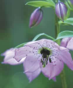 Wild geranium from Hatcher's Pass in Willow Alaska