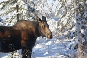 Moose on the shore of Willow Lake